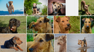 Chiens de race Airedale Terrier
