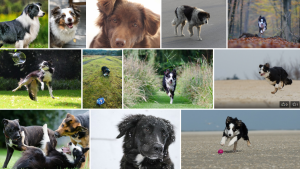 Chien de race Border Collie