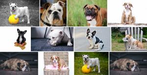 Chien de race Bulldog Anglais