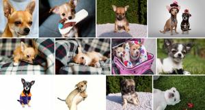 Chien de race Chihuahua