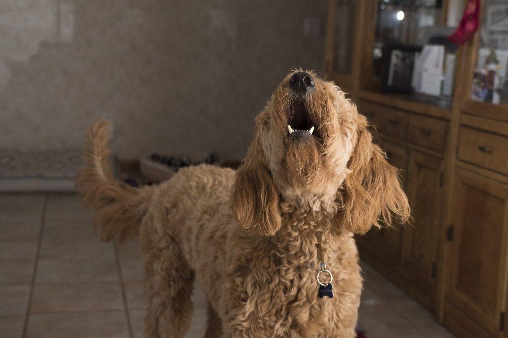 Collier anti aboiements chien