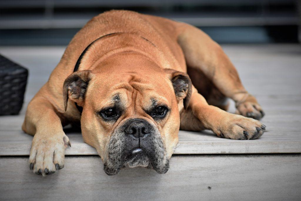 diarrhée chien