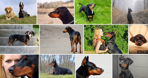Chien de race Dobermann