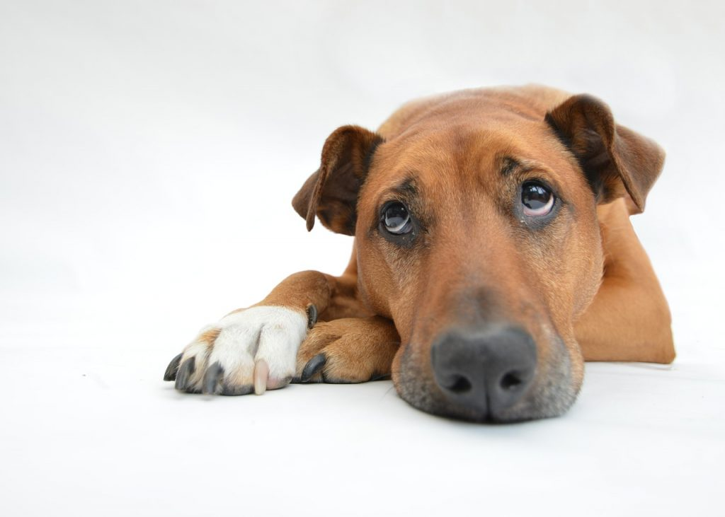 Fièvre chien