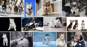 Chien de race Husky de Sibérie