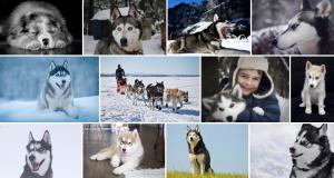 Chien de race Malamute de l'Alaska