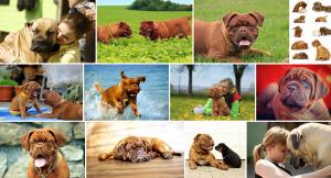 Chien de race Mastiff