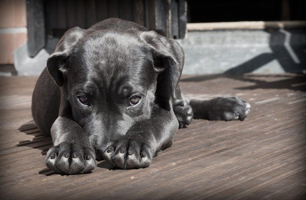 Traitement vers chien