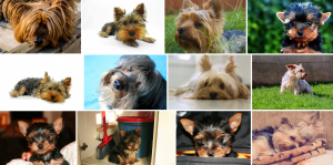Chien de race Yorkshire Terrier