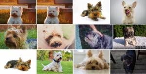Chien de race Cairn Terrier