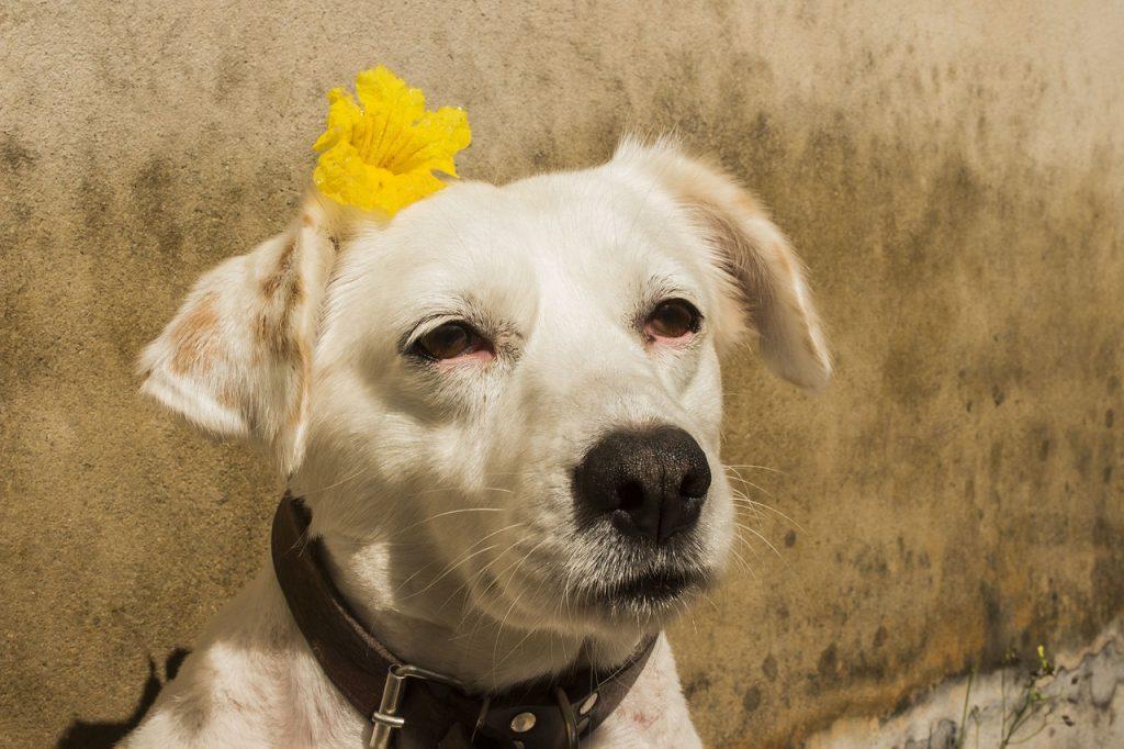 Chimiothérapie traitement chien