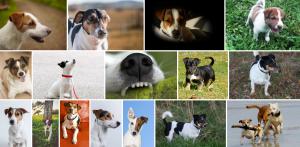 Chien de race Jack Russell Terrier