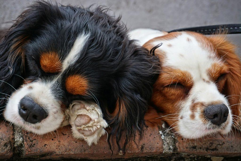 Les chiens rêvent