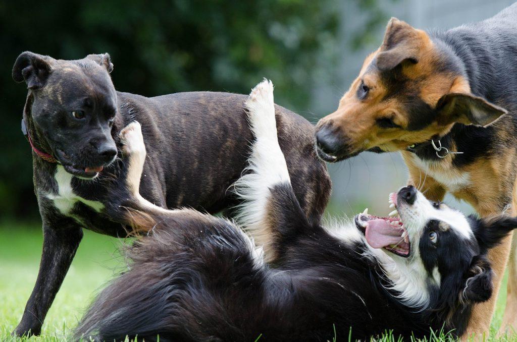 Races de chiens faciles à dresser