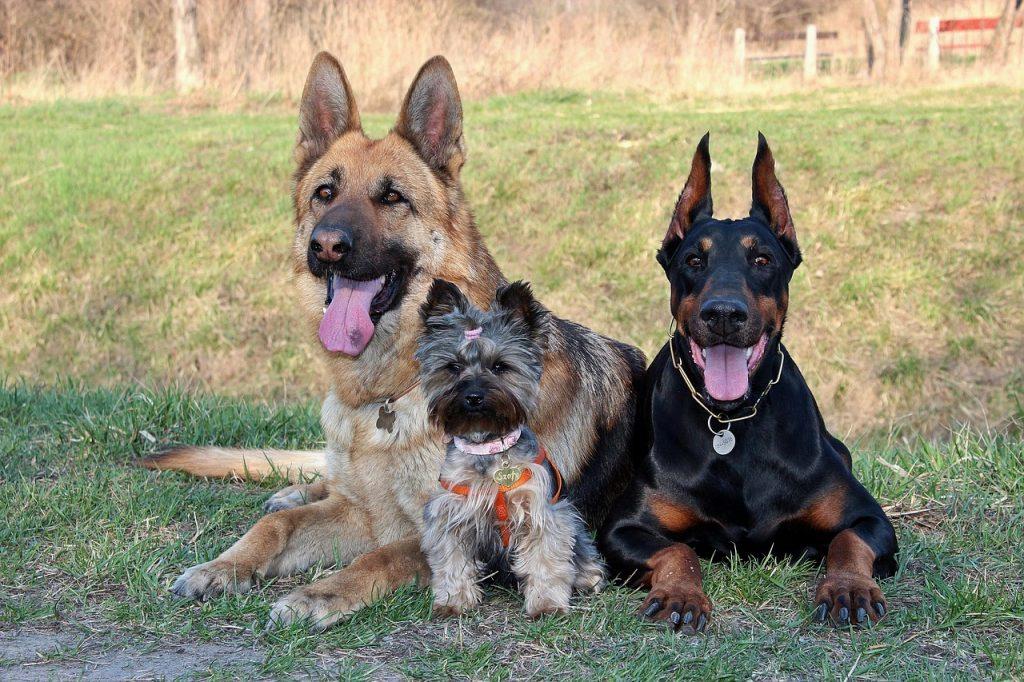 Top 10 des chiens les plus dangereux du monde