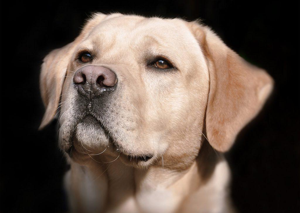 Surdité chien