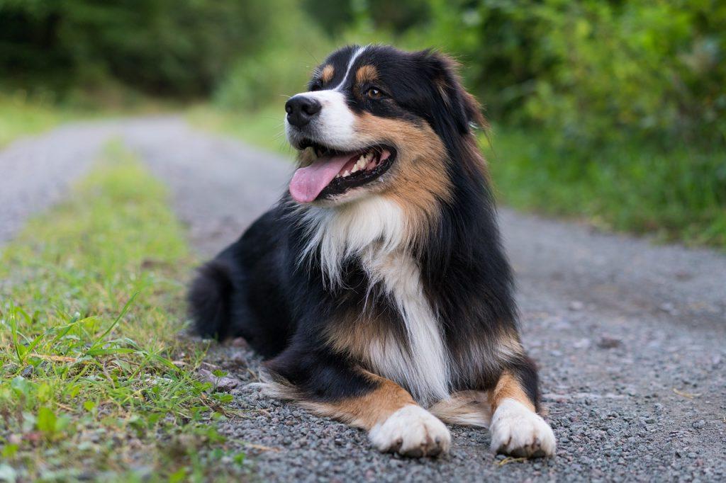 Infection voies urinaires chiens
