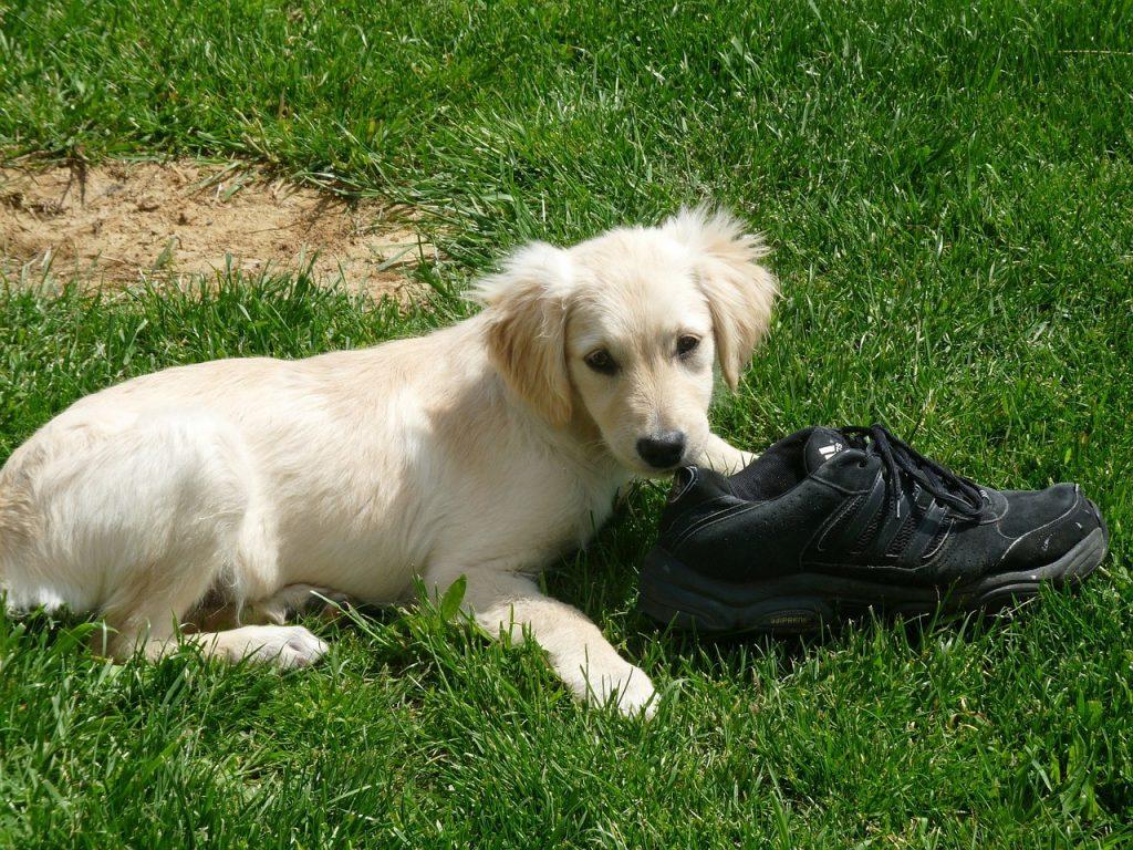Chien destruction chaussures