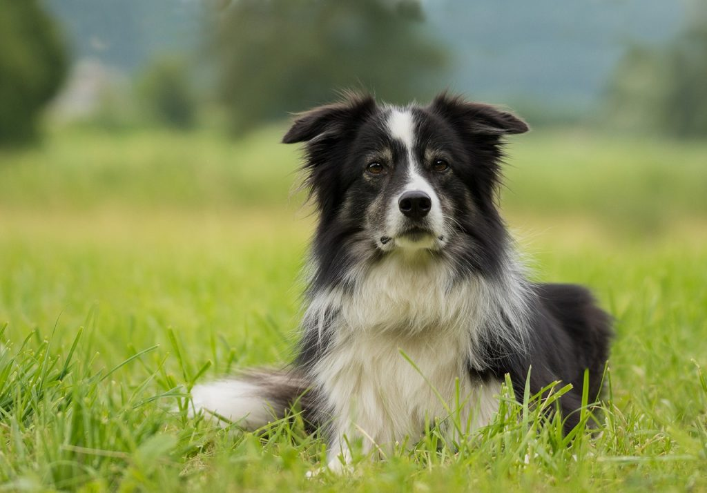 Chien race border collie