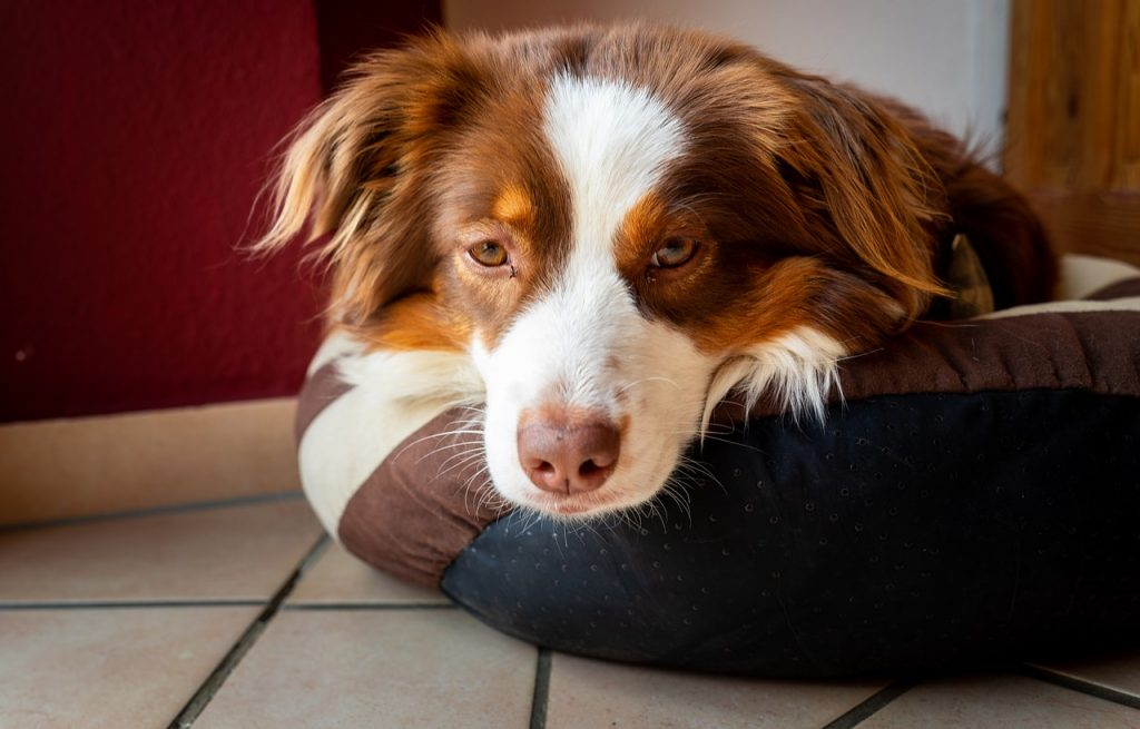 Infection urinaire chien malade