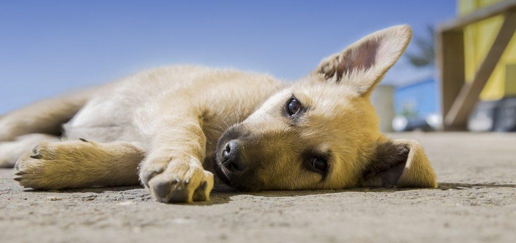 Maladie leishmaniose chien