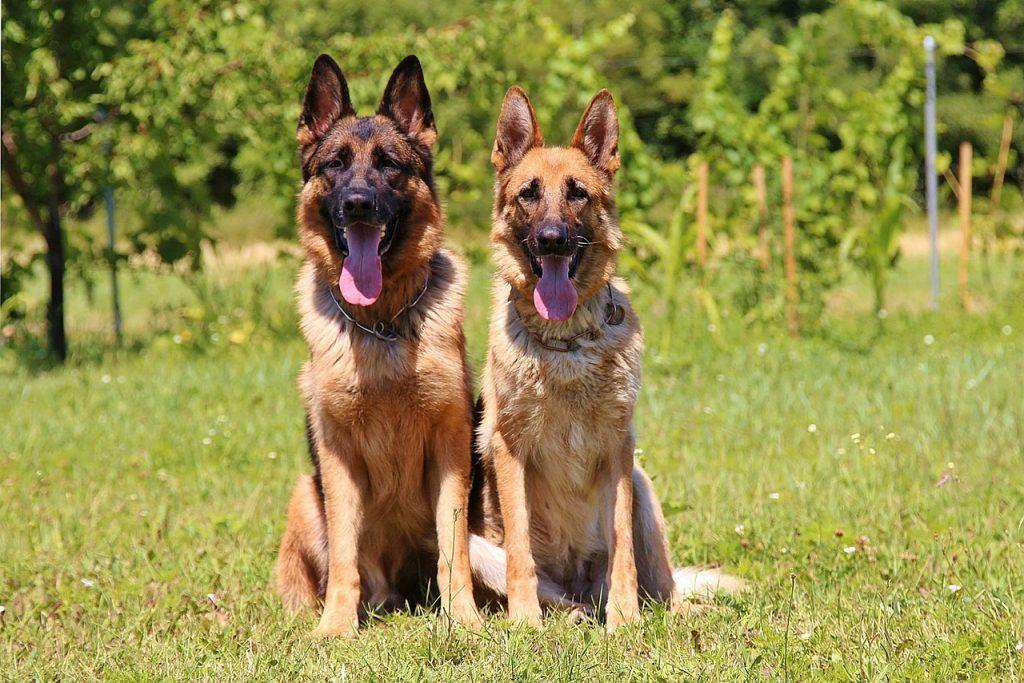 Race chien berger allemand
