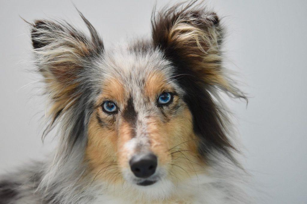 Race chien shetland chien berger