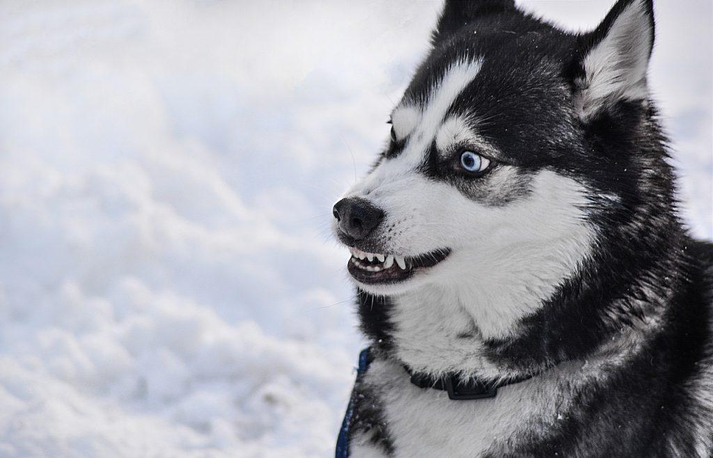 Grognements chiens