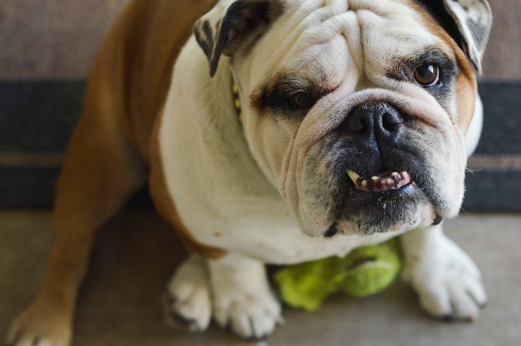 Pourquoi un chien grogne ?